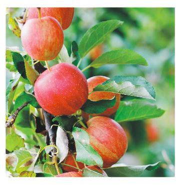 Квадратный стол яблоки